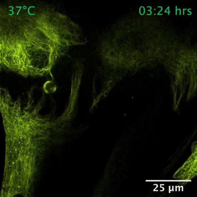VAHEAT - NHDF live cells